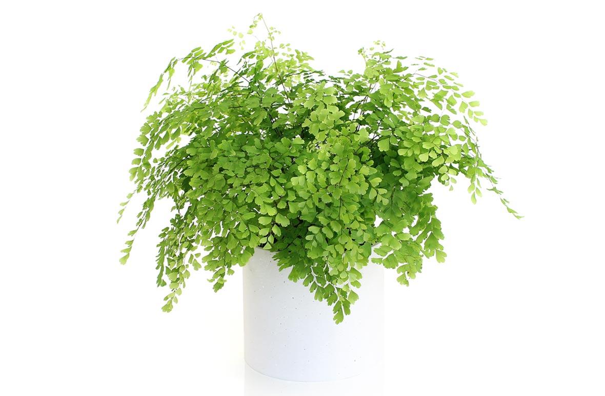 アジアンタム   お花を贈るなら...
